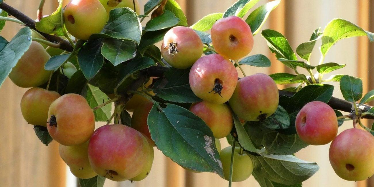 gartentipp zieraepfel