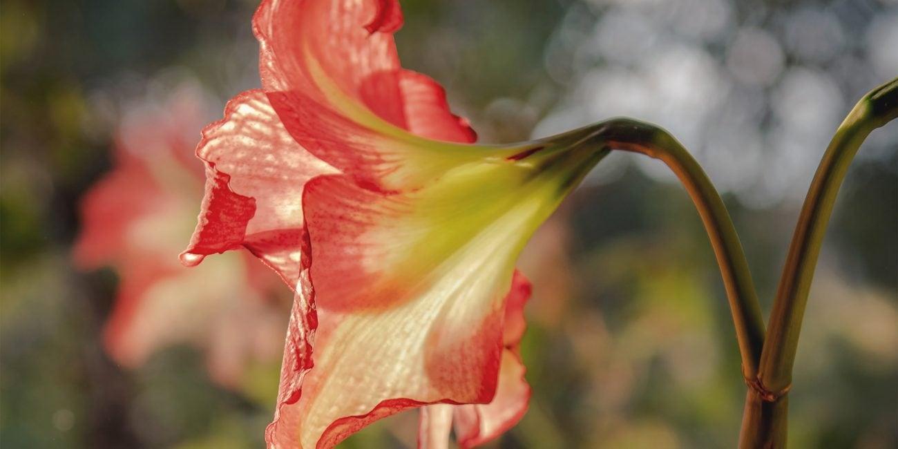gartentipp amaryllis info