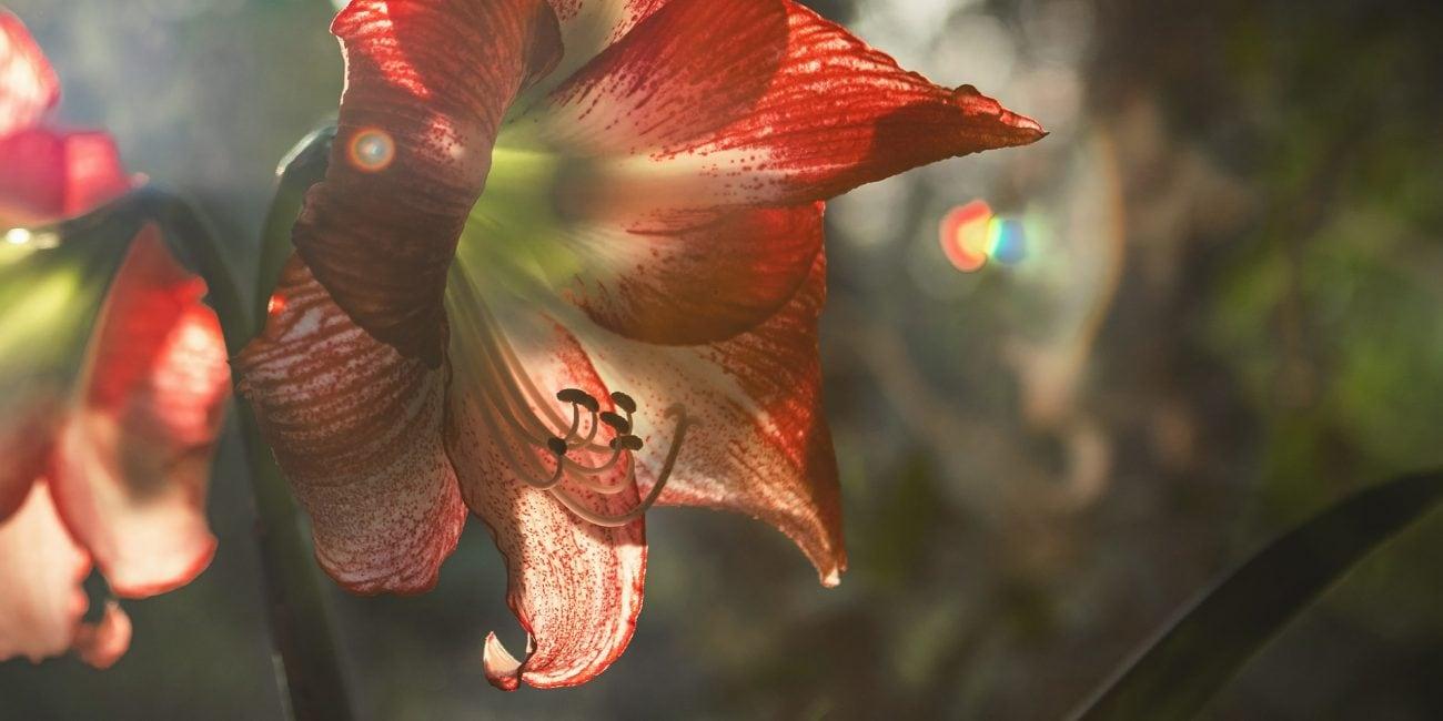gartentipp amaryllis