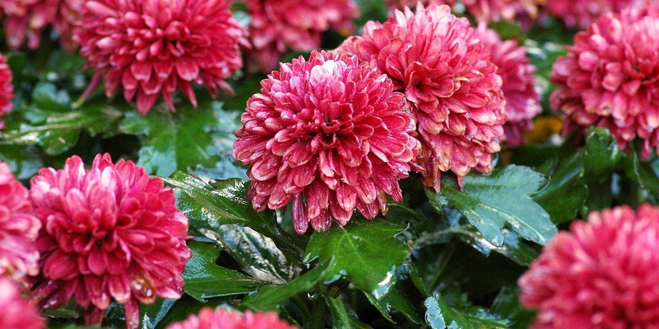 artentipp chrysanthemen