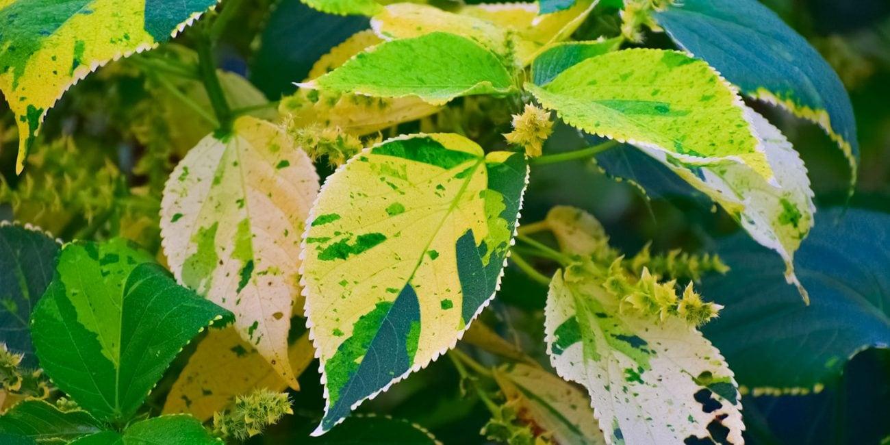 gartentipp gelb-grün gehoelze